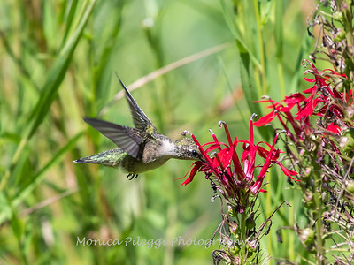 Hummingbird  23 Aug 2018-5187
