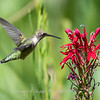 Hummingbird  23 Aug 2018-5114