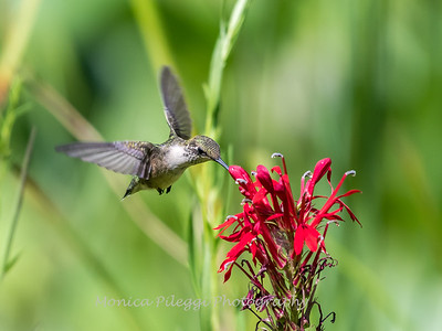 Hummingbird  23 Aug 2018-5178