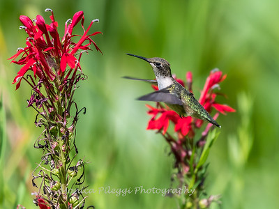 Hummingbird  23 Aug 2018-5168