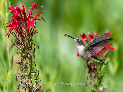 Hummingbird  23 Aug 2018-5165