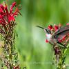 Hummingbird  23 Aug 2018-5165