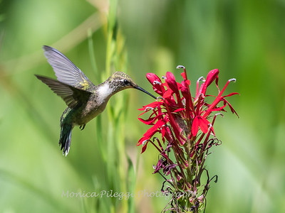 Hummingbird  23 Aug 2018-5115