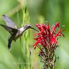 Hummingbird  23 Aug 2018-5115