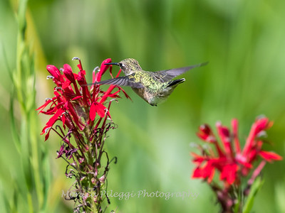 Hummingbird  23 Aug 2018-5171