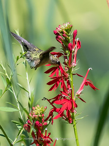 Hummingbird  23 Aug 2018-5102