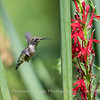 Hummingbird  23 Aug 2018-5073