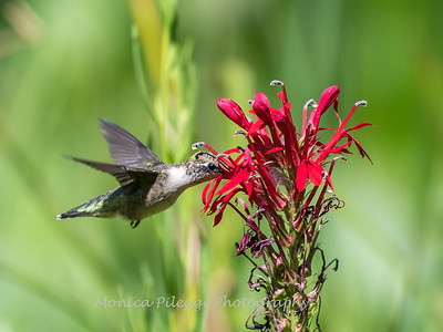 Hummingbird  23 Aug 2018-5126