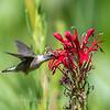 Hummingbird  23 Aug 2018-5126