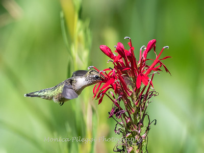 Hummingbird  23 Aug 2018-5127