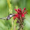 Hummingbird  23 Aug 2018-5127