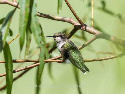 Hummingbird  23 Aug 2018-5044