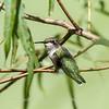 Hummingbird  23 Aug 2018-5044