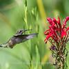 Hummingbird  23 Aug 2018-5129