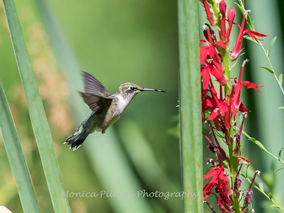 Hummingbird  23 Aug 2018-5075