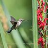 Hummingbird  23 Aug 2018-5075