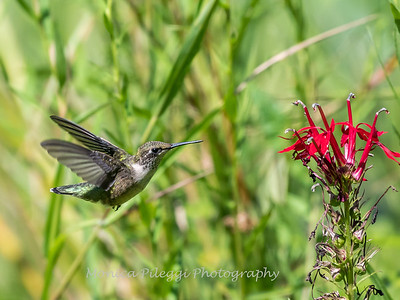 Hummingbird  23 Aug 2018-5188