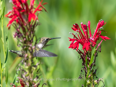 Hummingbird  23 Aug 2018-5162