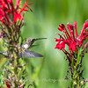 Hummingbird  23 Aug 2018-5162