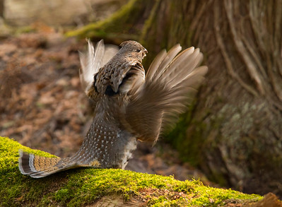 Ruffed Grouse 045