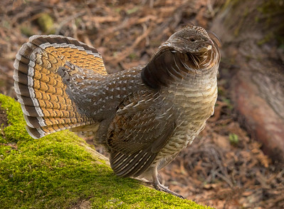 Ruffed Grouse 046