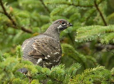 Spruce Grouse 003