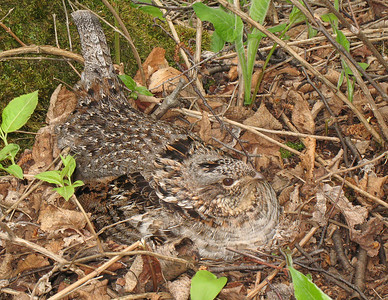 Ruffed Grouse 30