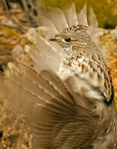Ruffed Grouse 38