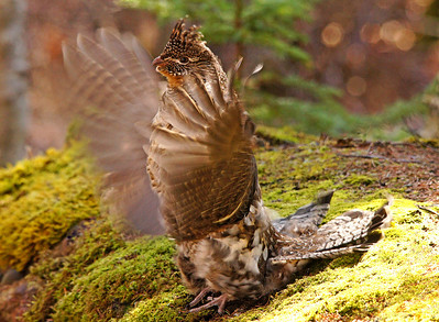 Ruffed Grouse 4_PSundberg