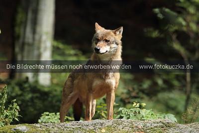 Wölfe - diverse -