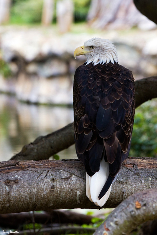 IMAGE: https://photos.smugmug.com/Wildlife/SF-Zoo/i-PVRHLNN/0/d07583ed/XL/eagle-XL.jpg