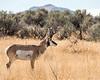 Antelope Island - Prong horn antelope