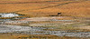 Antelope Island - Coyote