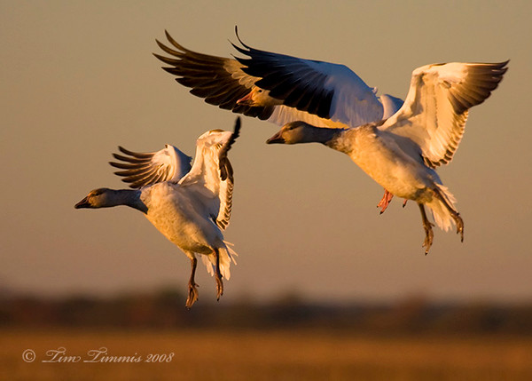 Geese coming in for a landing