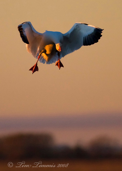 Goose coming in for a landing