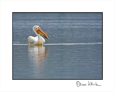 """American White Pelican  Description: The American White Pelican (Pelecanus erythrorhynchos) is a very large (50""""–70"""") white bird with black wing tips and a long, wide orange bill. They have a wing span of up to 110 inches. Unlike the Brown Pelican, the American White Pelican does not dive for its food. Instead it feeds while swimming. Each bird eats more than 4 pounds of fish a day, mostly carp, chubs, shiners, yellow perch, catfish, and jackfish."""