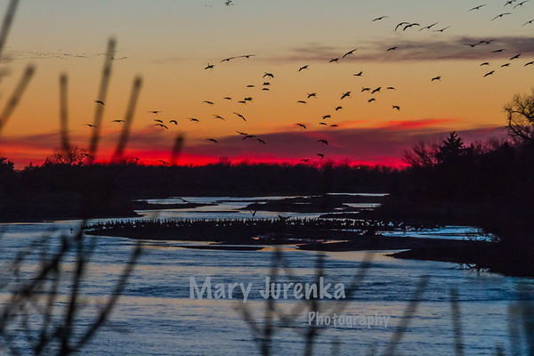 Sandhill cranes arrive at the sand bars in the River Platte