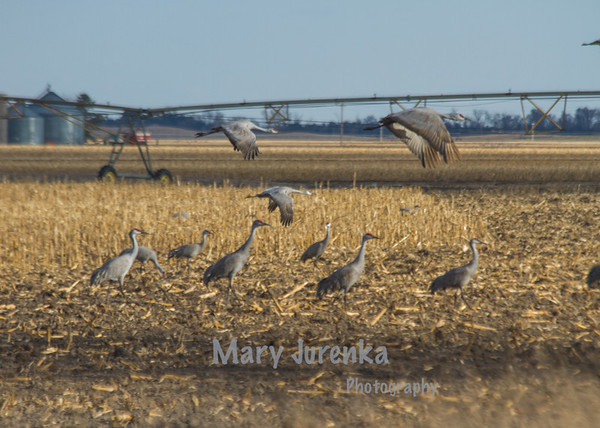 Sandhill Cranes Taking Flight