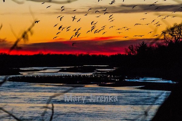 Sandhill Crane Migration-Kearney, Nebraska
