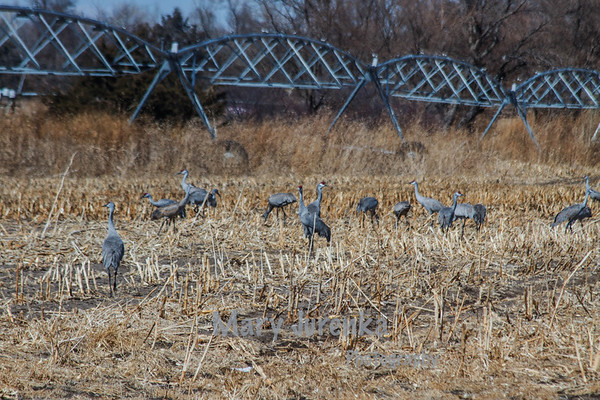 Sandhill Cranes on Farm Near Kearney, Nebraska