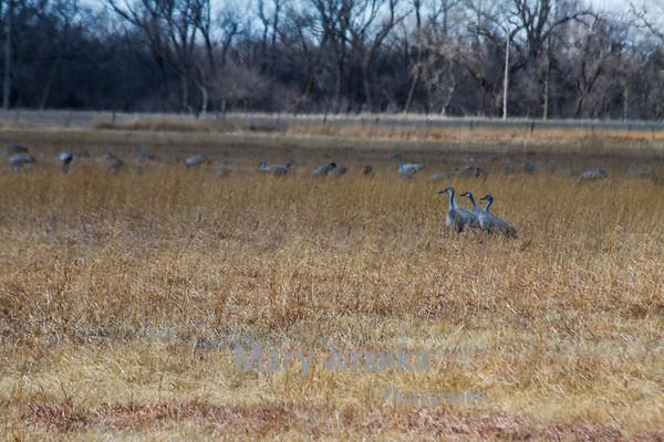 Sandhill Cranes Near Kearney, Nebraska