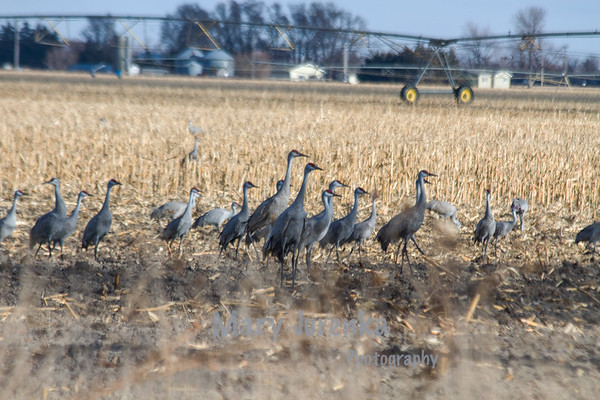 Sandhill Cranes in a field near Kearney, Nebraska; <br /> <br /> Each year 80% of the world's Sandhill Cranes land near the Platte River in the Kearney-Grand Island area of Nebraska en route to their northern destinations.  Between mid March and mid April 600,000 of these birds rest and build energy before they continue their journeys.