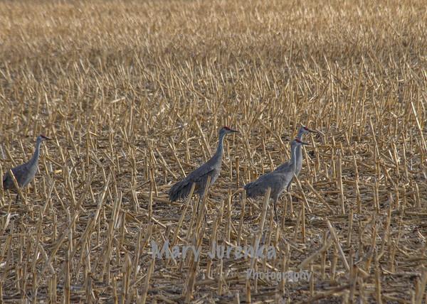 Sandhill Cranes in Field in Kearney, Nebraska