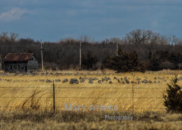 Sandhill Cranes on Farm Near Kearney, Nebraska