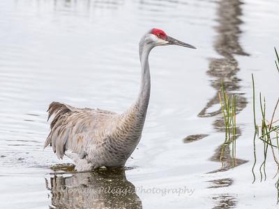 Sandhill Cranes January 2018-8511