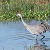 Sandhill Cranes January 2018-7720