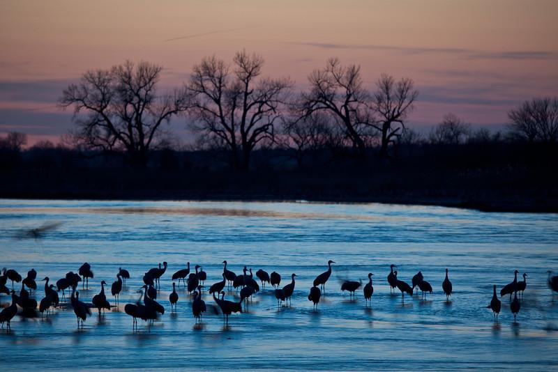Settling In for the Night <br /> <br /> Platte River<br /> Kearney, Nebraska<br /> (5II-11949)