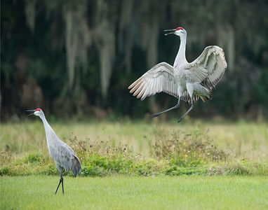 Deb's Sandhill Cranes