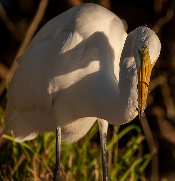 Ding Darling National Wildlife Refuge - Great Egret FOCUSED  on  a snack!