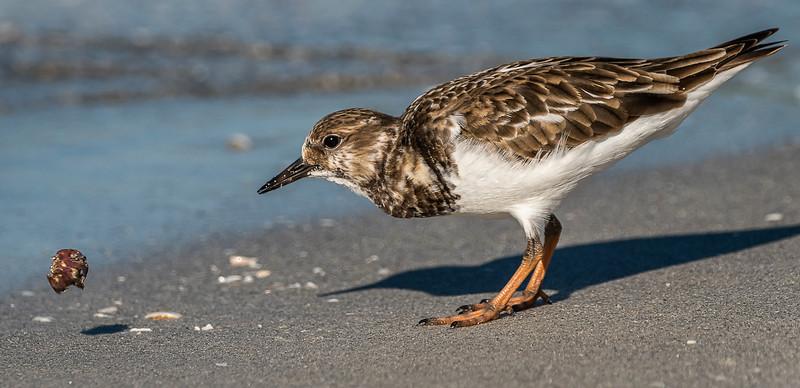 ? Semipalmated Plover - Blind Pass Beach - Sanibel, FL